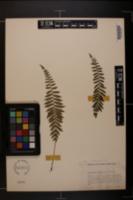 Image of Thelypteris macilenta