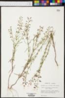 Dicerandra linearifolia image
