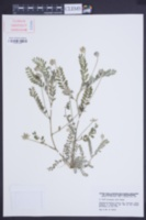 Image of Astragalus stella