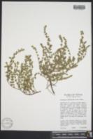Euphorbia velleriflora image