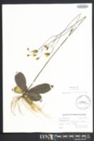 Hieracium venosum image