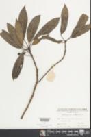 Daphniphyllum glaucescens image