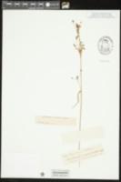 Image of Rhynchospora scutellata