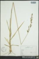 Anthaenantia villosa image