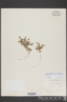 Stellaria dichotoma var. americana image