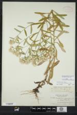 Pseudognaphalium micradenium image