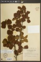 Image of Crataegus annosa