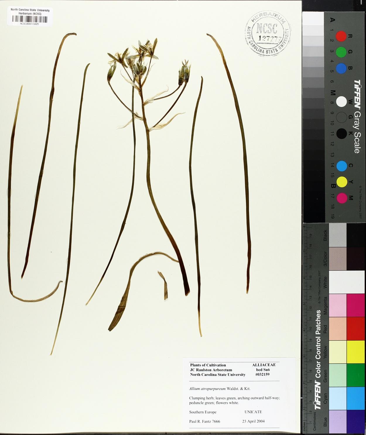 Allium atropurpureum image