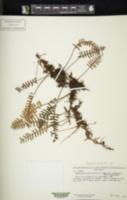 Image of Pleopeltis burchellii