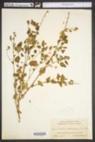Image of Malvastrum corchorifolium