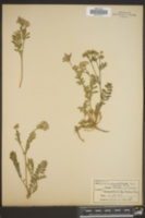 Image of Polemonium pilosum