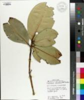 Image of Mammea odorata