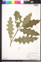 Image of Acanthus ilicifolius