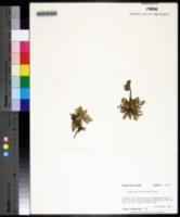 Botrychium lunarioides image