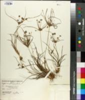 Cyperus globulosus image