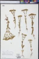 Valerianella amarella image