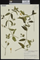 Ruellia pedunculata image