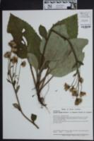 Image of Cacalia rugelia