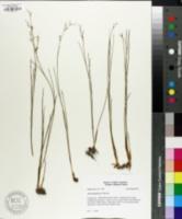 Juncus abortivus image