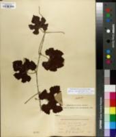 Image of Vitis coriacea