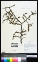 Image of Prunus minutiflora