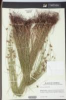 Scleria georgiana image