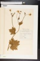 Image of Ranunculus lanuginosus