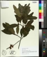 Quercus x filialis image
