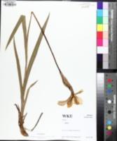 Iris shrevei image