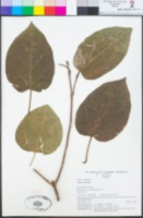 Image of Premna serratifolia