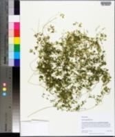 Fumaria parviflora image