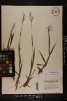 Dichanthelium consanguineum image