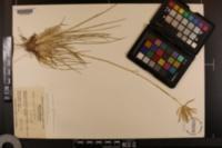 Chloris cucullata image