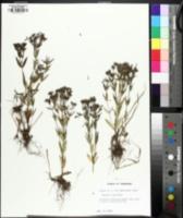 Image of Houstonia lanceolata