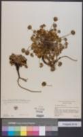 Pozoa coriacea image