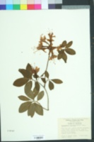 Image of Rhododendron flammeum
