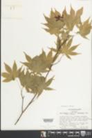 Acer palmatum subsp. amoenum image