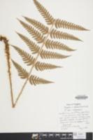 Image of Dryopteris australis