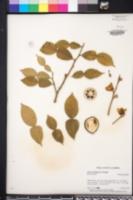 Image of Citrus ichangensis