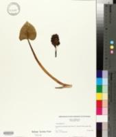 Calla palustris image