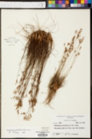 Bulbostylis barbata image