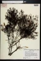 Agalinis plukenetii image