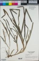 Zostera marina image
