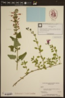 Image of Salvia koyamae