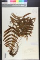 Image of Bolbitis appendiculata