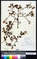 Vaccinium corymbosum image