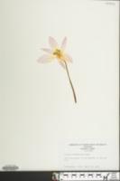 Image of Tulipa kaufmanniana
