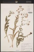 Hackelia velutina image