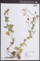 Lunaria rediviva image