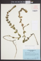Bacopa caroliniana image